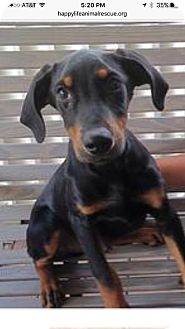 Shepherd (Unknown Type) Mix Puppy for adoption in Patterson, New York - Tucker