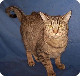 Domestic Shorthair Cat for adoption in Colorado Springs, Colorado - Sasha