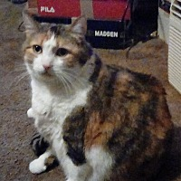 Domestic Shorthair Cat for adoption in Carlisle, Pennsylvania - BelleCP