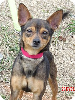 Chihuahua/Terrier (Unknown Type, Small) Mix Dog for adoption in SUSSEX, New Jersey - Princess Leia (7.5 lb) Angel!