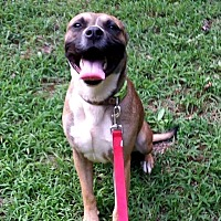 Boxer/Shepherd (Unknown Type) Mix Dog for adoption in Rome, Georgia - Stetson