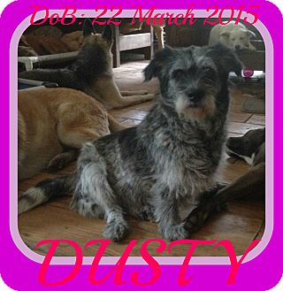Schnauzer (Standard) Mix Dog for adoption in Manchester, New Hampshire - DUSTY