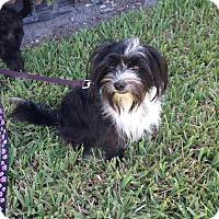 Adopt A Pet :: Tuxedo aka Tux - Loxahatchee, FL