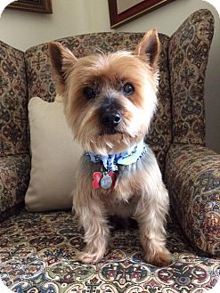 Yorkie, Yorkshire Terrier Mix Dog for adoption in Los Angeles, California - Weston