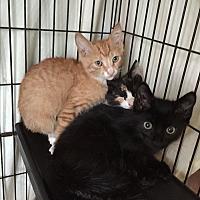 Adopt A Pet :: Kittens 2 - Sunny Isles Beach, FL