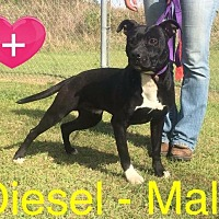 Terrier (Unknown Type, Small)/Labrador Retriever Mix Dog for adoption in Waycross, Georgia - Diesel