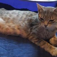Adopt A Pet :: Mustang Sally - Bolingbrook, IL