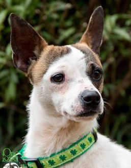 Jack Russell Terrier Mix Dog for adoption in Savannah, Georgia - Rico