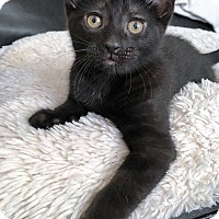 Adopt A Pet :: Licorice - Toronto, ON
