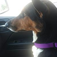 Adopt A Pet :: Harry Styles - Jersey City, NJ