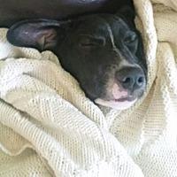 Adopt A Pet :: Blaze - Rockville, MD
