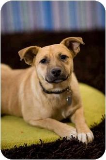 Spitz (Unknown Type, Medium)/German Shepherd Dog Mix Puppy for adoption in Portland, Oregon - Dusty