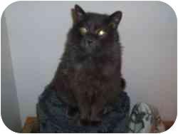Domestic Longhair Cat for adoption in Hamburg, New York - Sweetie