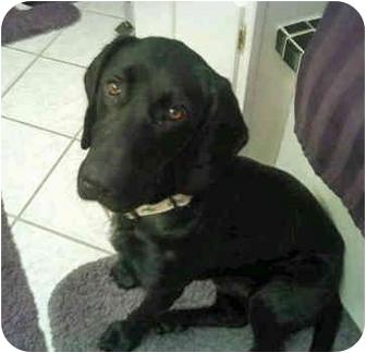 Labrador Retriever/Hound (Unknown Type) Mix Dog for adoption in Powell, Ohio - Zeus