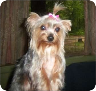 Yorkie, Yorkshire Terrier Dog for adoption in Broken Bow, Oklahoma - Tinka
