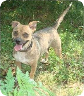 Terrier (Unknown Type, Small)/Chihuahua Mix Dog for adoption in P, Maine - Bella Star