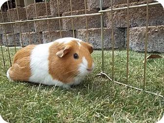 Guinea Pig for adoption in Phoenix, Arizona - Maria