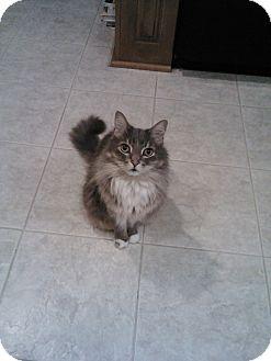 Domestic Longhair Cat for adoption in Laguna Woods, California - Oscar