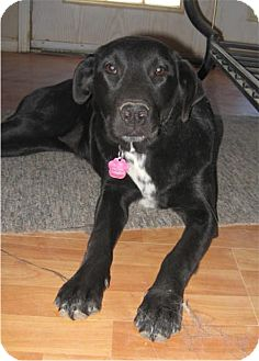Labrador Retriever/Retriever (Unknown Type) Mix Dog for adoption in Golden Valley, Arizona - Abby
