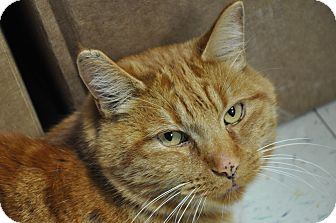 Domestic Shorthair Cat for adoption in Great Falls, Montana - Fisher