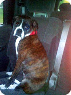 Boxer Dog for adoption in Dayton, Ohio - Rosie Marie