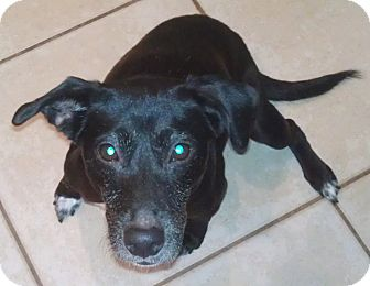 Labrador Retriever Mix Dog for adoption in Orlando, Florida - Beverly