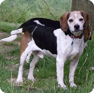 Beagle/Harrier Mix Dog for adoption in Indianapolis, Indiana - Tommy
