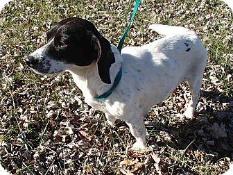 Dachshund Mix Dog for adoption in Bedford, Virginia - Oreo