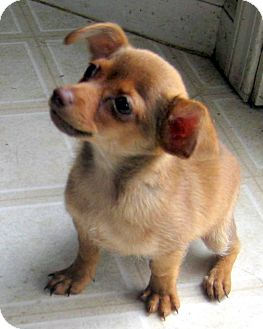 Dachshund/Pomeranian Mix Puppy for adoption in Oakley, California - Teacup Baby Pip