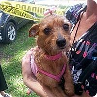Adopt A Pet :: Brunette - Brooksville, FL