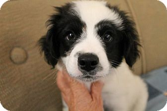 Border Collie Mix Puppy for adoption in Mt Sterling, Kentucky - Casper