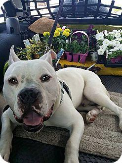 American Bulldog Mix Dog for adoption in Villa Park, Illinois - Spanky