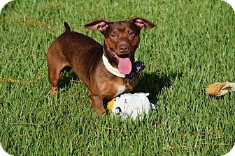 Dachshund Mix Dog for adoption in Green Cove Springs, Florida - Sherlock