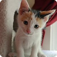 Adopt A Pet :: Lily - Port Republic, MD