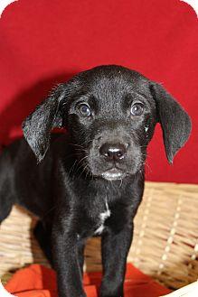 Labrador Retriever/Retriever (Unknown Type) Mix Puppy for adoption in Waldorf, Maryland - Palmer