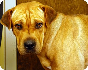 Shar Pei Mix Dog for adoption in Newland, North Carolina - Dumpling