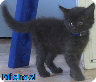 Domestic Mediumhair Kitten for adoption in Georgetown, South Carolina - Michael