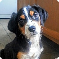Adopt A Pet :: Darcy*ADOPTED!* - Chicago, IL