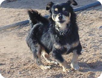 Chihuahua Mix Dog for adoption in Las Cruces, New Mexico - Boris