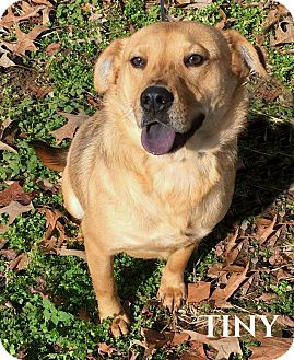 Chow Chow/Beagle Mix Dog for adoption in Columbia, Tennessee - Jazzy (Tiny) PENDING ADOPTION