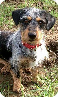 Dachshund Mix Dog for adoption in Wichita Falls, Texas - Bixby