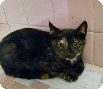 Domestic Shorthair Kitten for adoption in East Brunswick, New Jersey - Patch
