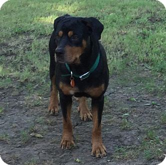 Rottweiler Mix Dog for adoption in Fort Worth, Texas - Queen