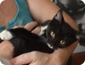 Domestic Shorthair Kitten for adoption in New York, New York - LOVE BUGS: FLEUR&MOONSHINE'16