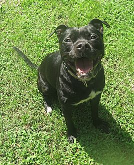Boxer/Labrador Retriever Mix Dog for adoption in Bloomfield, New Jersey - Bella