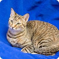 Adopt A Pet :: Star - Fountain Hills, AZ