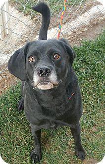 Pug/Beagle Mix Dog for adoption in Fruit Heights, Utah - Pugsley
