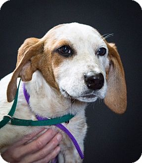 Hound (Unknown Type)/Pointer Mix Puppy for adoption in Boonsboro, Maryland - Molly