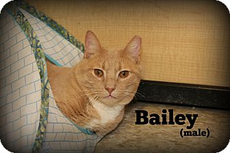 Domestic Shorthair Cat for adoption in Glen Mills, Pennsylvania - Bailey