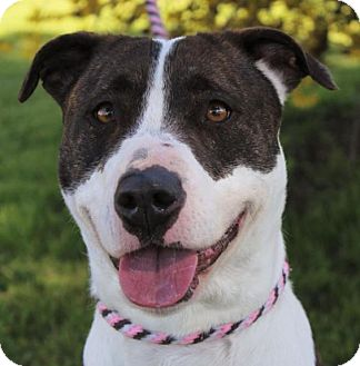 Pit Bull Terrier Mix Dog for adoption in Red Bluff, California - SOFIA Low Fee-altered